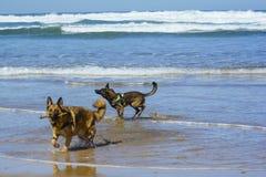 Belgian Shepherd Malinois 8 months on the beach stock images