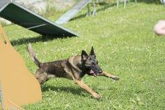 Belgian Shepherd Malinois 10 months making Agility Stock Images