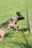 Belgian Shepherd Malinois 10 months making Agility Royalty Free Stock Images