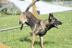 Belgian Shepherd Malinois 10 months making Agility Royalty Free Stock Photography