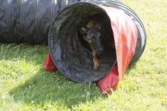 Belgian Shepherd Malinois 10 months making Agility Royalty Free Stock Photos