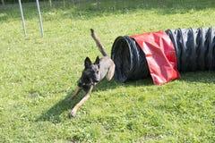 Belgian Shepherd Malinois 10 months making Agility Stock Photography