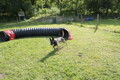 Belgian Shepherd Malinois 10 months making Agility Stock Photo