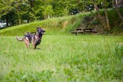 Belgian Shepherd Malinois 9 months running.  Stock Images
