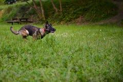 Belgian Shepherd Malinois 9 months running.  Royalty Free Stock Photo
