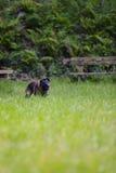 Belgian Shepherd Malinois 9 months running.  Royalty Free Stock Image