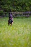 Belgian Shepherd Malinois 9 months running.  Stock Photos