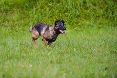 Belgian Shepherd Malinois 9 months running.  Stock Photography