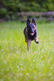 Belgian Shepherd Malinois 9 months running.  Stock Photo