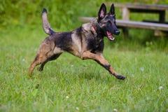 Belgian Shepherd Malinois 9 months running.  Stock Image