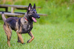 Belgian Shepherd Malinois 9 months running.  Royalty Free Stock Images