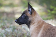 Belgian Shepherd Malinois. Portrait of a Puppy, 11 weeks old Stock Images