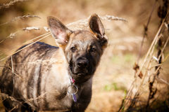 Belgian Shepherd Malinois puppy. Portrait Royalty Free Stock Photos