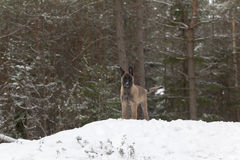 Belgian Shepherd Malinois. Puppy, 11 weeks old, standing on snow in forest Royalty Free Stock Images