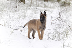 Belgian Shepherd Malinois. Puppy, 11 weeks old, standing on snow in forest Stock Photos