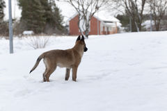 Belgian Shepherd Malinois. Puppy, 11 weeks old, standing on snow in forest Stock Images