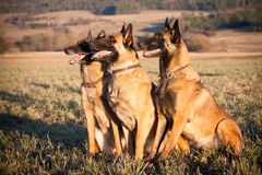Belgian Shepherd Malinois. Purebreed Belgian Shepherd Malinois portrait Stock Photos