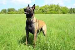 Belgian shepherd malinois. Standing position Stock Photo