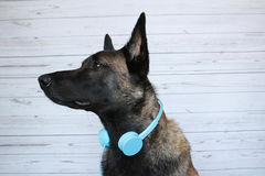 Belgian shepherd Malinois who plays the DJ with a headset audio Royalty Free Stock Photos