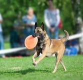 Belgian shepherd mallionois on a dog frisby championship Stock Photo