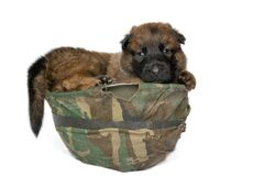 Belgian shepherd military working dog puppy in used army helmet