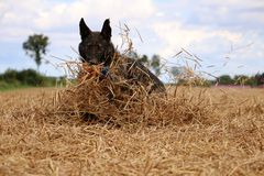 Belgian shepherd is playing on a stubble field. In the sunshine Royalty Free Stock Photos