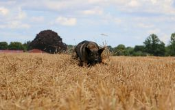Belgian shepherd is playing on a stubble field. In the sunshine Royalty Free Stock Photo