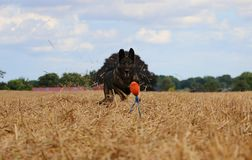 Belgian shepherd is playing on a stubble field. In the sunshine Royalty Free Stock Images