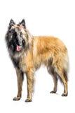 Belgian Shepherd. Portrait of a belgian shepherd on a white background Stock Images