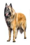 Belgian Shepherd. Portrait of a belgian shepherd on a white background Stock Photography