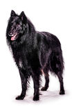 Belgian Shepherd. Portrait of a belgian shepherd on a white background Royalty Free Stock Images
