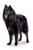 Belgian Shepherd royalty free stock images