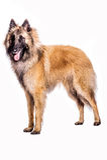 Belgian Shepherd. Portrait of a belgian shepherd on a white background Stock Photos