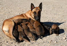 Belgian shepherd and puppies stock images