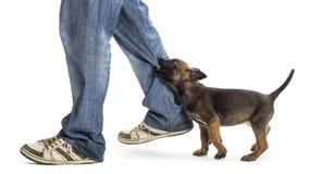 Belgian shepherd puppy biting leg Royalty Free Stock Photography