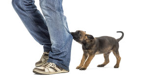 Belgian shepherd puppy biting and pulling leg Royalty Free Stock Image