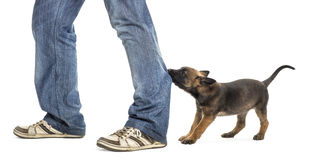 Belgian shepherd puppy biting and pulling leg Royalty Free Stock Images