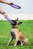 Belgian Shepherd puppy and his master with two puller toys. Belgian Shepherd puppy and his master holding two puller toys at a training Royalty Free Stock Images
