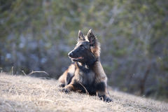 Belgian Shepherd puppy lying down Royalty Free Stock Photo