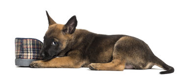 Belgian Shepherd puppy lying next to slipper Royalty Free Stock Photography