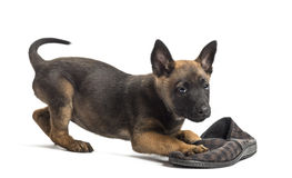 Belgian Shepherd puppy playing with a slipper Stock Images