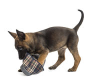 Belgian Shepherd puppy playing with a slipper Royalty Free Stock Image