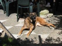 Belgian shepherd relaxing in the sun. A Belgian shepherd relaxing in the sun royalty free stock photography