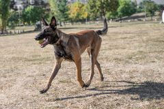 Belgian Shepherd Running Through the Grass. Selective focus Royalty Free Stock Images