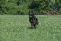 Belgian Shepherd Running Through the Grass Royalty Free Stock Image