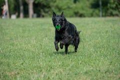 Belgian Shepherd Running Through the Grass. Stock Photo