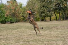 Belgian Shepherd on agility competition, jumping outdoor Royalty Free Stock Photo