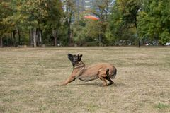 Belgian Shepherd on agility competition, jumping outdoor Stock Photos
