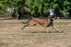 Belgian Shepherd Running Through the Grass. Selective focus Stock Photos