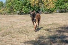 Belgian Shepherd Running Through the Grass. Selective focus Stock Photography